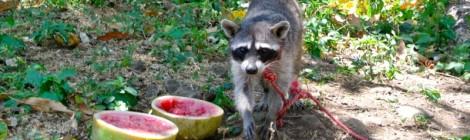 Popoyo, Apoyo, and Pet Raccoons